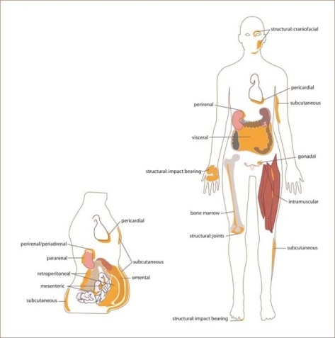 White_adipose_distribution_in_the_body.